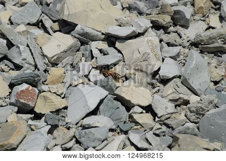 Wasp Sitting On The Rubble