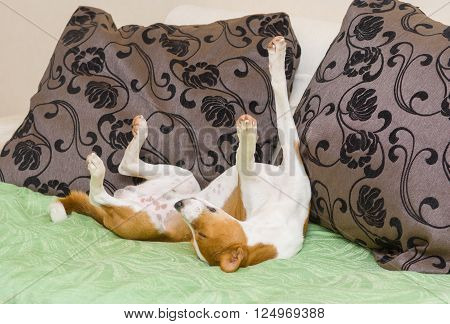 Dormant Basenji dog being in funny sleeping pose on the sofa