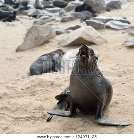Cape fur seal roars on the stone coast of Atlantic ocean. Seal colony on the Cape Cross Skeleton Coast Namibia