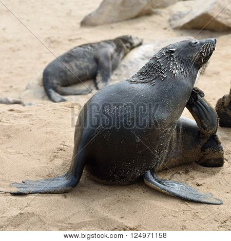 Cape Fur Seal On The Cape Cross, Namibia