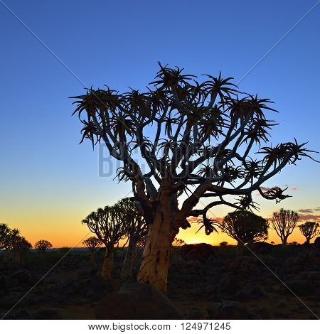Quiver Tree Forest outside of Keetmanshoop Namibia at night start. Magical silhouette against mystical sunset