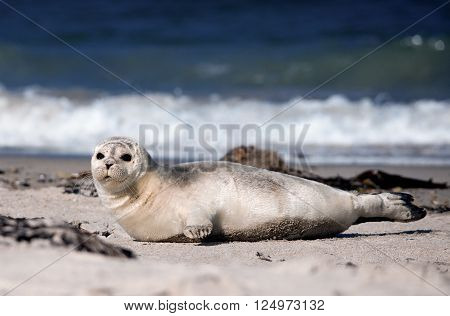 Baby seal lying at the beach and looking at you