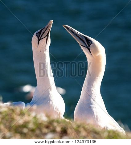 Two gannets sitting and looking at eachother