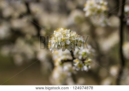 Blooming fruit trees with blossom and bees gathering pollen and honey in spring garden