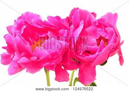 Three pink peonies isolated on white .