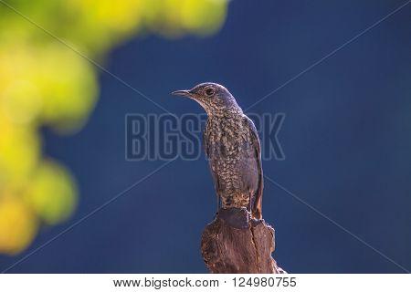 Blue Rock Thrush Bird (monticola Solitarius)