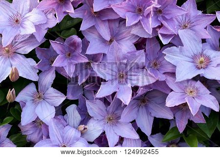 Background of flowers, purple clematis close up.