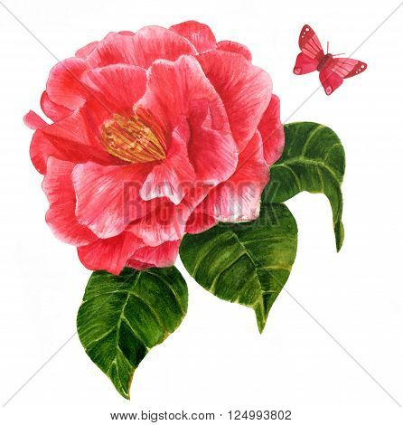 A vintage style watercolor drawing of a bright red camellia flower in bloom with green leaves and a butterfly hand painted on white background