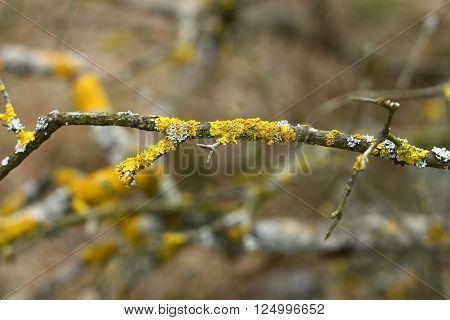 Detail on white and yellow lichen growing on a branch