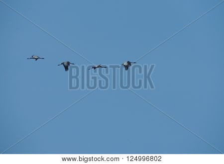 Four grey herons (Ardea cinerea) in flight