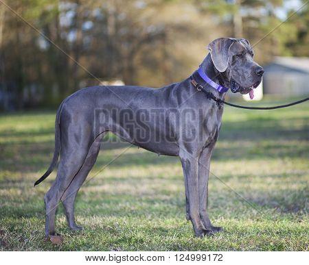 Grey Great Dane posing on a big grassy field