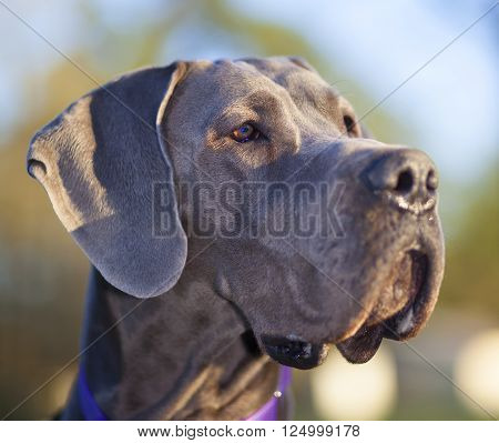 Grey Great Dane just as the sun is starting to set