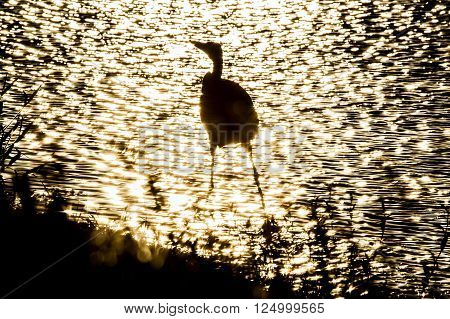 Wading bird silhouetted by late afternoon sun
