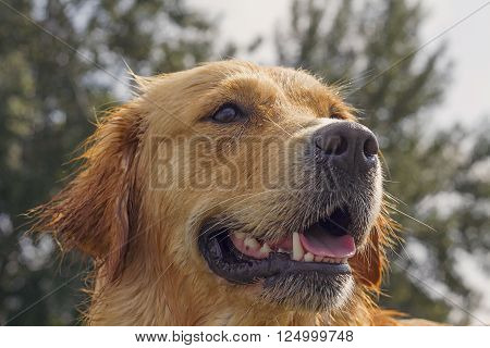 wet golden retriever dog half-profile head-shot after swimming