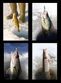 stock photo of crappie  - four freshwater species of fish being pulled through the ice fishing holes - JPG