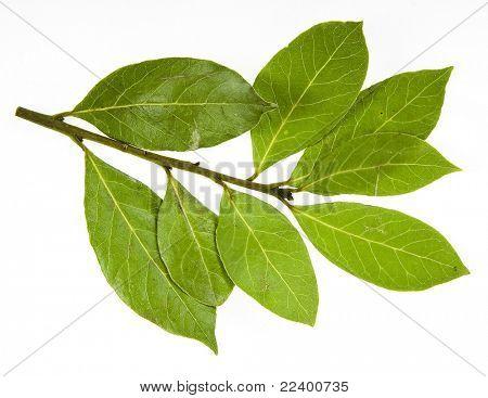 rama de hojas de laurel, aislado en blanco