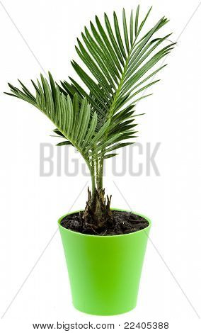 Palm tree in flowerpot