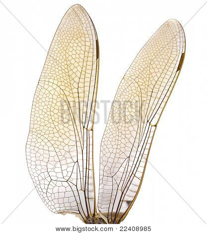 dragonfly wings in High resolution  isolated on white background