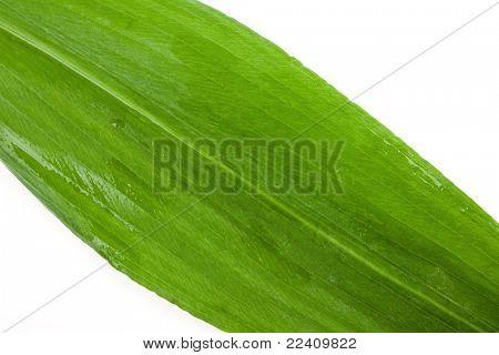 Ramson leaf macro