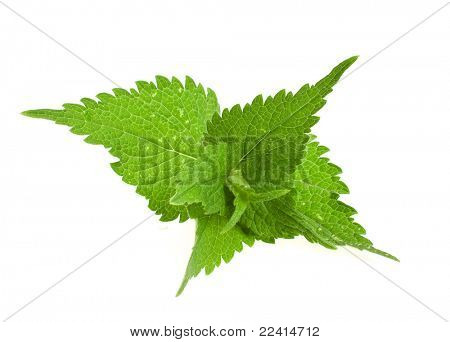 fresh and green nettle isolated on white background