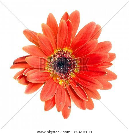 Head of orange flower isolated on white background