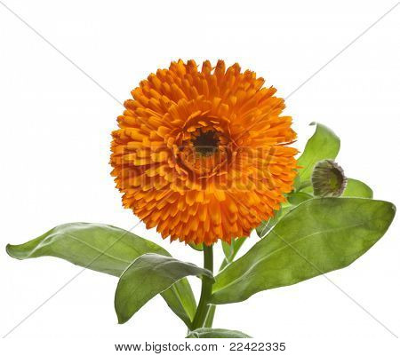 orange flower of calendula Isolated on white background