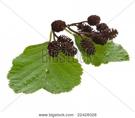alder leaves with cones