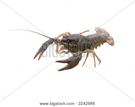 Crayfish On White Background
