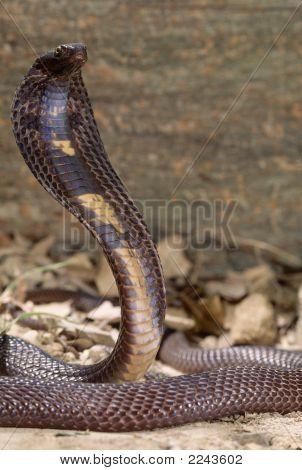 Pakastani Cobra