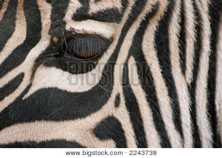 Nice Zebra Close Up