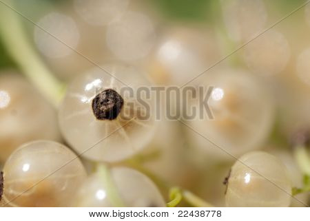 Macro Shot On Rare White Currant