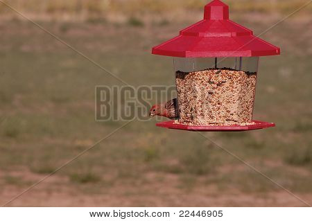 A Male House Finch Eating Seeds From a Bird Feeder