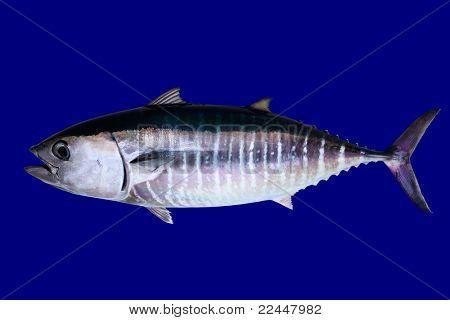 Thun isoliert auf blauem Hintergrund echte Fische Thunnus thynnus