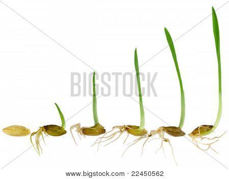 Ver hoja de hierba crece