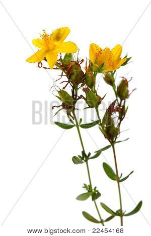 Hypericum Perforatum, St John's Wort Flower On White
