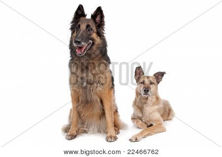 Belgian Shepherd And A Mixed Breed Dog