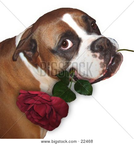 The Boxer And The Rose (wht Background)