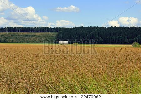Field Of Timothy Grass, Phleum Pratense