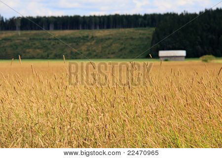 Field Of Timothy Grass Rural Landscape