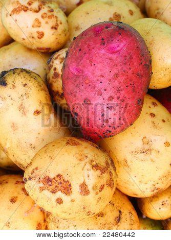 Newly harvested potatoes ( Solanum tuberosum )