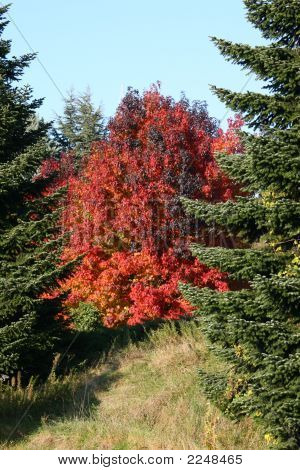 Red Autumn Acer