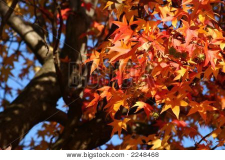 Red Autumn Maple Leaves