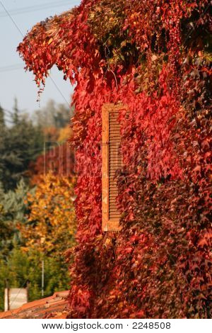 Old Window In Autum Covered By Red Leaves