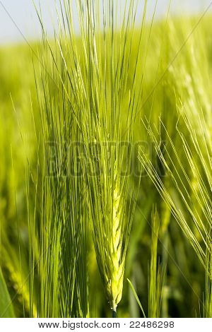 Green cereals