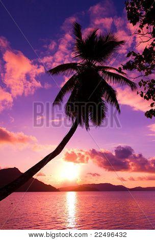 Island Pink Palm