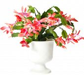 picture of schlumbergera  -  Blooming Christmas Cactus  - JPG