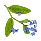 forget-me-not  (Myosotis arvensis) flower on white