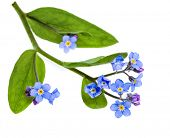 picture of forget me not  - Spring flowers - JPG
