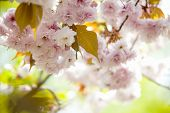Cherry Blossom, Pink Flowers In Blooming With Nice Background poster