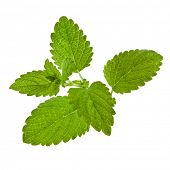 stock photo of mint leaf  - green mint leaves  isolated - JPG